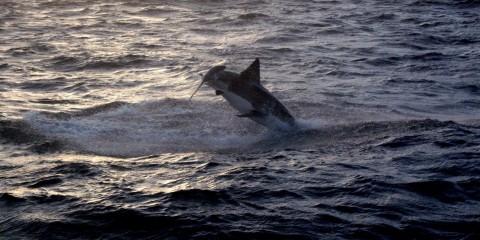 Güney Afrika Cape Town köpekbalığı