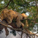 uganda aslan