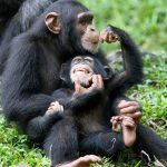 uganda şempanze