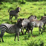 uganda zebra